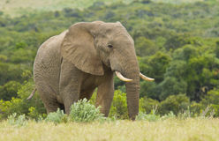 Large elephant walking in long grass Stock Photos