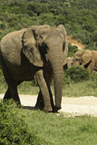 Large elephant walking. Up a road towards a water hole Stock Photos