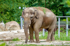Large elephant walks in the enclosure of the zoo Royalty Free Stock Images