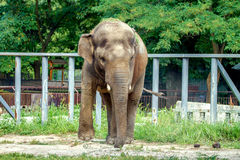 Large elephant walks in the enclosure of the zoo Stock Photography
