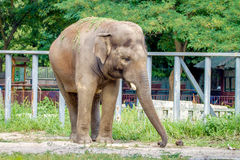 Large elephant walks in the enclosure of the zoo Royalty Free Stock Photo
