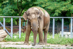 Large elephant walks in the enclosure of the zoo Royalty Free Stock Photos
