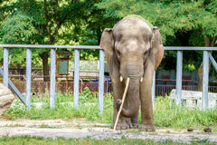 Large elephant walks in the enclosure of the zoo Stock Images