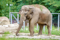 Large elephant walks in the enclosure of the zoo Royalty Free Stock Photography