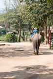 Large elephant with the young mahout. stock photography