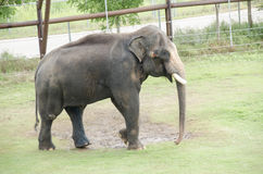 Large elephant at zoo Royalty Free Stock Images