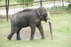 Large elephant at zoo Stock Images