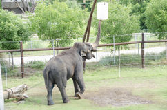 Large elephant at zoo Royalty Free Stock Photography