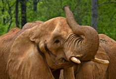 Large Elephants Royalty Free Stock Images