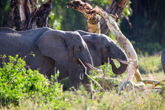 Large elephants eating in Serengeti Stock Photo