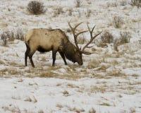 Large Elk Royalty Free Stock Photo