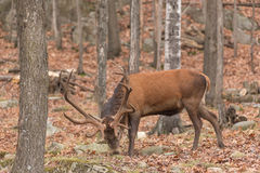 Large Elk Royalty Free Stock Images