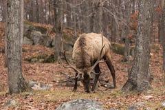 Large Elk Royalty Free Stock Image