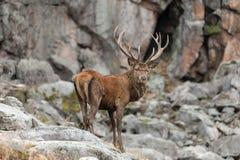 Large Elk Stock Photography