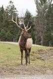 Large Elk Royalty Free Stock Photography