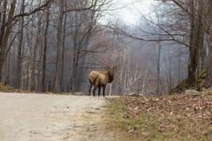 Large Elk Stock Images