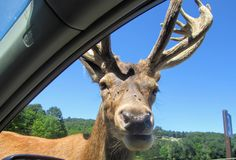 A large elk gets up close and personal in the passenger side win stock photography