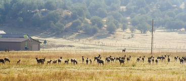 A Large Elk Herd Skirts a Ranch in New Mexico Royalty Free Stock Image
