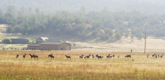 A Large Elk Herd Skirts a Ranch in New Mexico Royalty Free Stock Photos