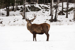 Large elk with large antlers Stock Photos