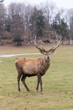 Large elk with large antlers Stock Images