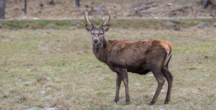 Large elk with large antlers Stock Image