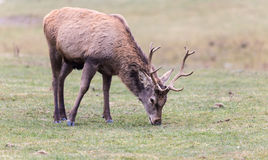 Large elk with large antlers Stock Photo
