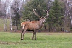 Large Elk Stock Photos