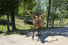 Large Elk in a natural setting Stock Photography