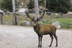 Large elk in the woods Stock Images