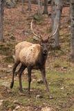 Large Elk Royalty Free Stock Photos