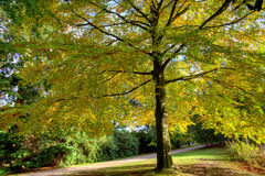 Large elm tree. Golden elm tree in an autumnal park stock images