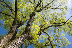 Large elm tree. Branches spread full in spring Royalty Free Stock Photography