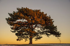 Large Elm tree. Giant solitary Elm tree at sunset royalty free stock photo