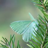 Large Emerald, Geometra papilionaria. Large Emerald on a branch of spruce Stock Image
