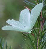 Large Emerald, Geometra papilionaria. Large Emerald on a branch of spruce Royalty Free Stock Photos