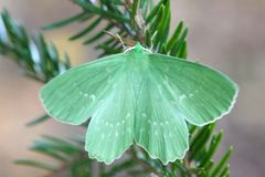 Large Emerald, Geometra papilionaria. Large Emerald on a branch of spruce Royalty Free Stock Photography