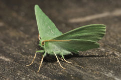Large Emerald Moth Stock Photography