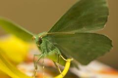 Large emerald Moth in big detail, Geometra Papilionaria Stock Image