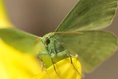 Large emerald Moth in big detail, Geometra Papilionaria Royalty Free Stock Images