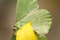 Large emerald Moth in big detail, Geometra Papilionaria Stock Photos