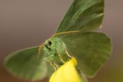 Large emerald Moth in big detail, Geometra Papilionaria Royalty Free Stock Photo