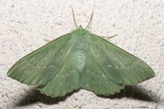 Large Emerald Moth Close Up Stock Image
