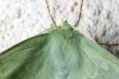 Large Emerald Moth Close Up Stock Images