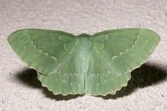 Large Emerald Moth Close Up Stock Photos