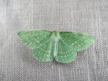 Large emerald moth Royalty Free Stock Photography
