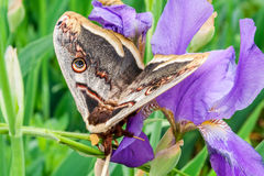 Large emperor moth on flower violet iris closeup Royalty Free Stock Images
