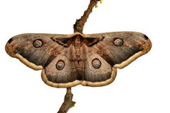 Large Emperor moth Royalty Free Stock Images