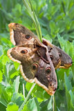 Large emperor moths on the grass. Large emperor moths (Saturnia pyri) on the grass. Close-up Stock Images