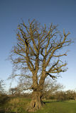 Large English Oak. Large old English Oak tree without any leaves in the middle of field with a blue sky Royalty Free Stock Photos